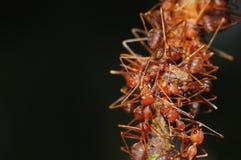 Mrówki na drzewie Zdjęcie Stock
