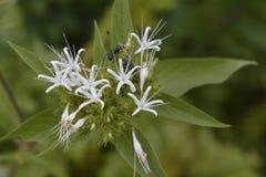 Mrówki Na Kwiacie Zdjęcie Stock