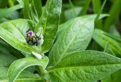 Mrówki na pączku Obrazy Stock
