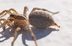 Mrówki napadania pająk Obrazy Royalty Free