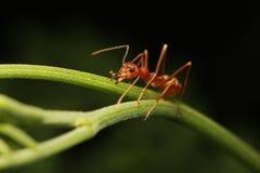Mrówki odprowadzenie na gałązkach Zdjęcia Stock