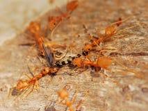 mrówki polowanie Zdjęcia Royalty Free