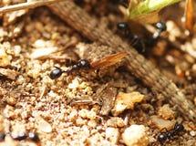 Mrówki przewożenia liścia gruzy Zdjęcia Royalty Free