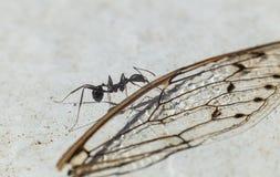 Mrówki przewożenia skrzydło Zdjęcie Royalty Free