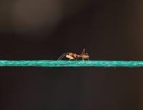 Mrówki przewożenia jedzenie na arkanie Fotografia Royalty Free