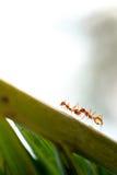 Mrówki przyroda na liścia tle Zdjęcie Stock