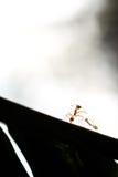 Mrówki przyroda na liścia tle Zdjęcia Stock