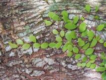 Mrówki roślina Zdjęcie Royalty Free