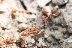 Mrówki są przyglądające dla jedzenia Zdjęcia Stock