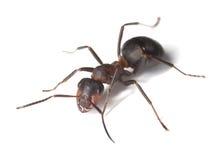 mrówki tła konia odosobniony biel Obraz Royalty Free