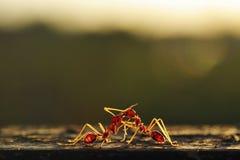 mrówki target766_1_ dwa Zdjęcia Stock