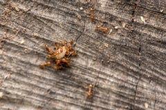 Mrówki target450_1_ jedzenie Obraz Royalty Free