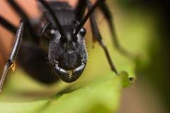 mrówki twarz fotografia royalty free