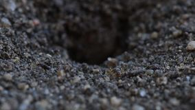 Mrówki Usuwa brud Od gniazdeczka zbiory wideo