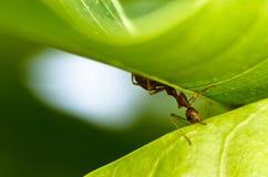 mrówki władzy czerwona praca Zdjęcia Stock
