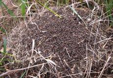 Mrówki w anthill Fotografia Royalty Free