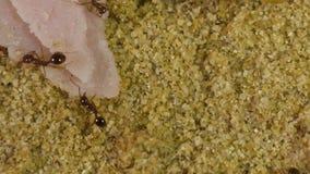 Mrówki w formikarium zbiory wideo