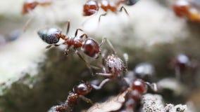 Mrówki w naturze zbiory wideo