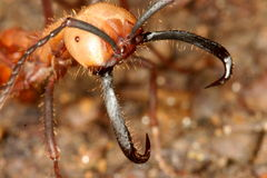 mrówki wojsko Zdjęcia Stock