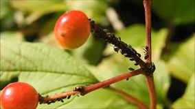Mrówki wspina się jagodowej rośliny zbiory wideo