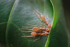 Mrówki życie Zdjęcie Stock