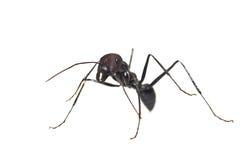 mrówki zakończenia odosobniony biel fotografia stock