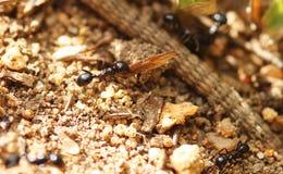 Mrówki zbiera jedzenie Obrazy Stock