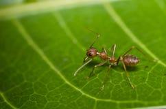 mrówki zielona liść macro czerwień Obrazy Stock