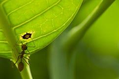mrówki zielona liść macro czerwień Zdjęcie Royalty Free