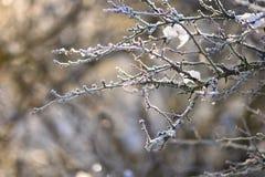 Mróz i śnieg na gałąź Pięknej zimy sezonowy tło Fotografia zamarznięta natura fotografia stock