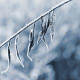 Mróz i śnieg na gałąź Pięknej zimy sezonowy tło Fotografia zamarznięta natura obrazy royalty free