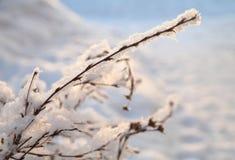 Mróz i śnieg na gałąź, zimy tło Obrazy Stock