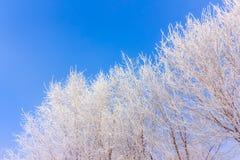Mróz na drzewach w niebieskie niebo zimy mornimg obraz royalty free