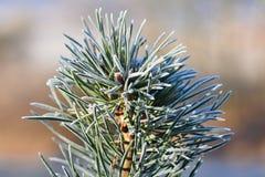 Mróz na gałąź Pięknej zimy sezonowy naturalny tło Zamarznięty wiecznozielony drzewo - sosna zdjęcie stock