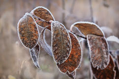 Mróz na liściach Fotografia Stock
