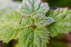 Mróz na trawa liściach Zdjęcia Royalty Free