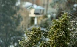 Mróz na Wiecznozielonych drzewach Obraz Royalty Free