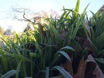 Mróz zakończona trawa zdjęcie stock