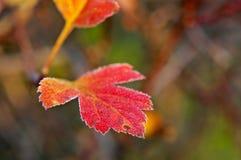 Mróz zakrywający liść backlit Obraz Stock