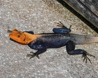 Mr. African Red-Headed Agama stock photography