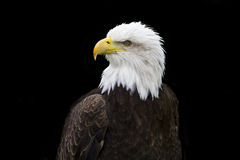 Mr Bald Eagle II Royalty Free Stock Image
