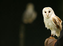 Mr Barn Owl. Barn Owl on Falconers Glove Royalty Free Stock Photo