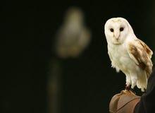 Mr Barn Owl. Barn Owl on Falconers Glove royalty free stock photo