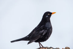 Mr Blackbird Royalty Free Stock Images