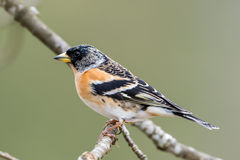 Mr Brambling's profile Royalty Free Stock Photography