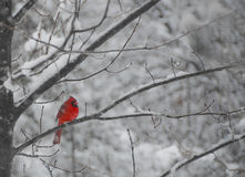 Mr. Cardinal. Winter landscape of a red cardinal on a tree on a snowy day. Artistic photo showing the contrast of the red color of our bird and the white and Royalty Free Stock Image