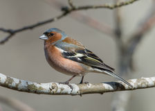Mr Chaffinch Royalty Free Stock Photography