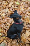 Mr. Chester. Manchester Terrier Chester for a walk in the old Park in Utrecht stock photography