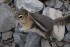 Mr.Chipmunk. Sulphur Mountain, Banff National Park. A friendly chipmunk begs for food from a passerby, at midday Stock Photo