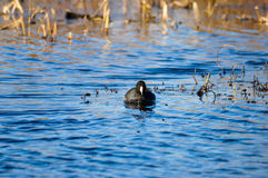 Mr. Coot Stock Images